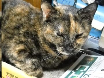 2011年9月25日のサビ猫くるん(3)