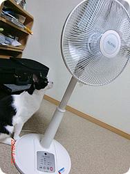 扇風機と初対面のまめ