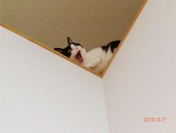 あくびするネコ