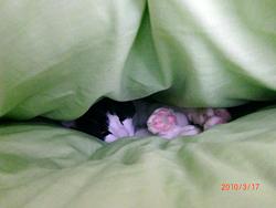布団でねるネコ