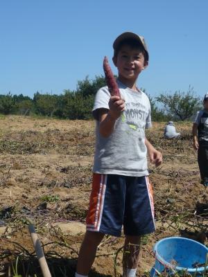Digging for sweet potatoes