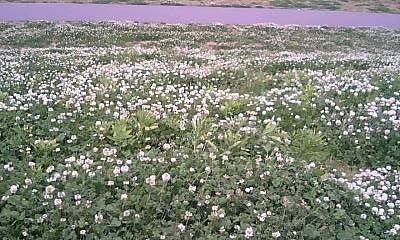 一面のシロツメ草