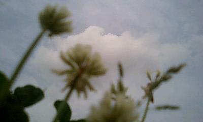 雲に見とれるシロツメ草