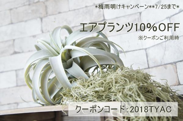 梅雨明けキャンペーンSTART☆エアプランツが10%OFF