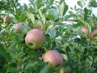 今時のりんご