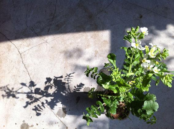 大根の花 咲きました