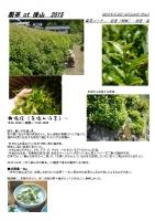 製茶工程2015-1