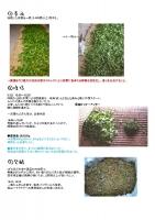 製茶工程2015-2