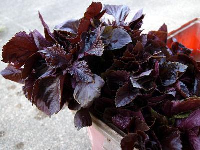 太原の紫蘇