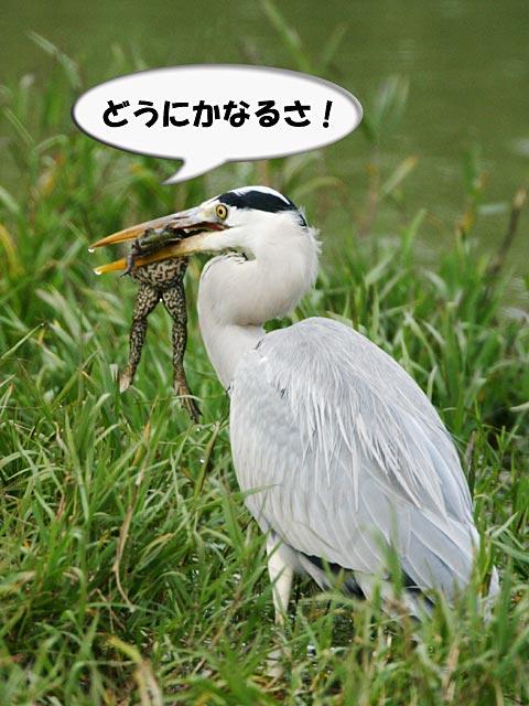 ふりむけばカエル1