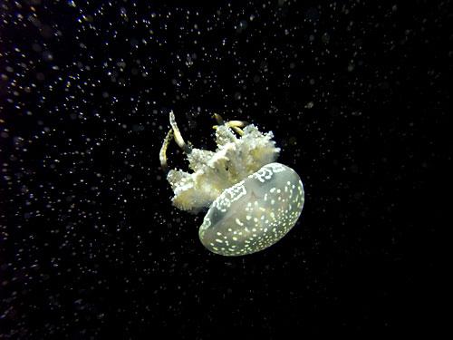 室蘭水族館04タコクラゲ