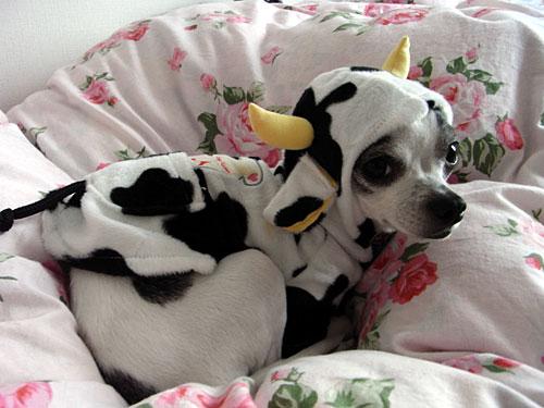 著者近影:牛模様の私