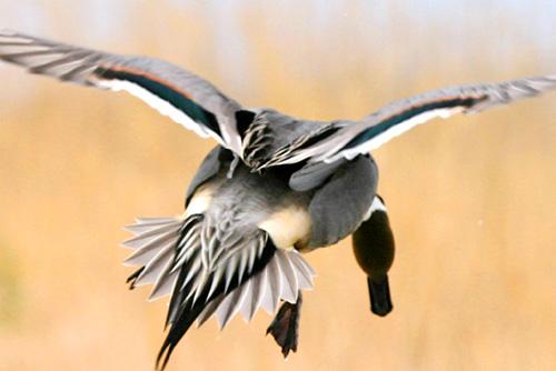 オナガガモ飛翔