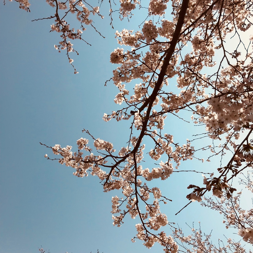 桜2018年
