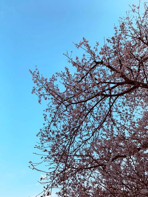 桜が咲いたよ