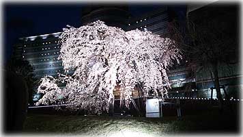 琵琶湖ホテル・桜