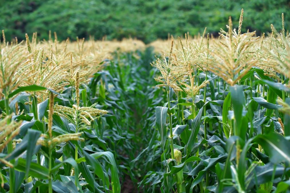 芦刈地区の畑