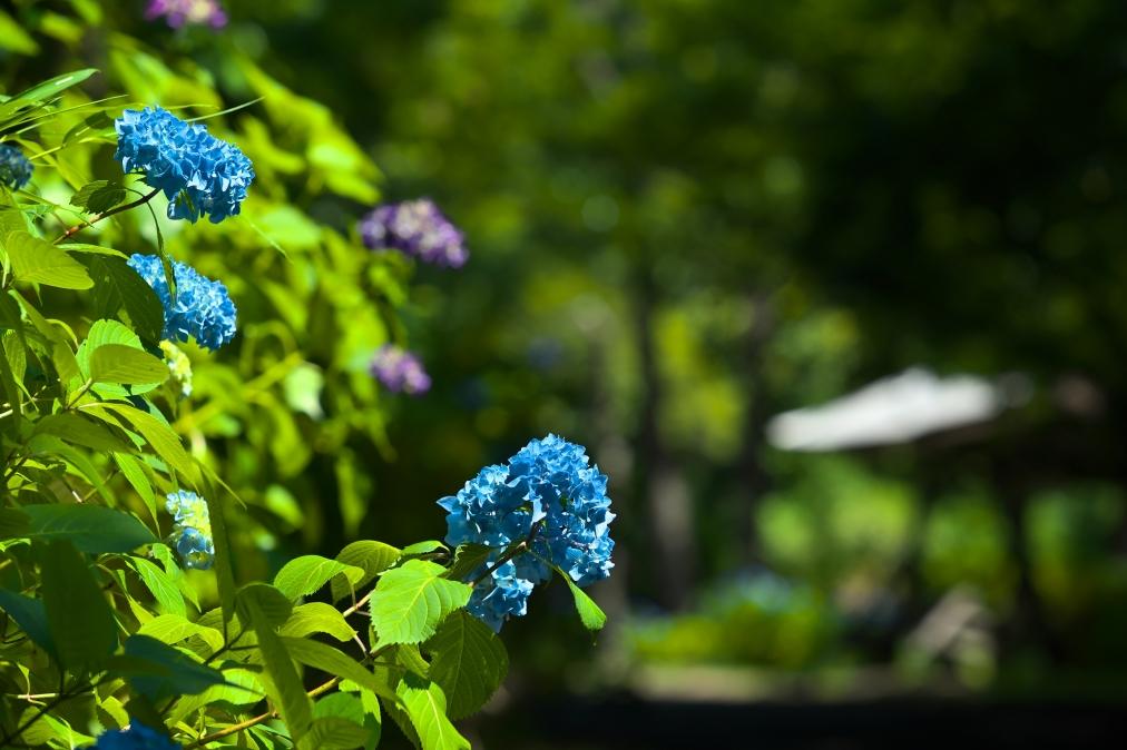 大辻公園の紫陽花