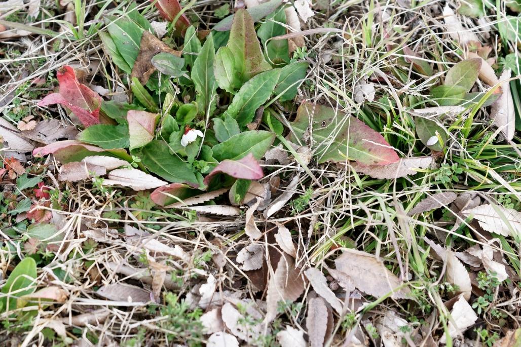 落ちた梅の花