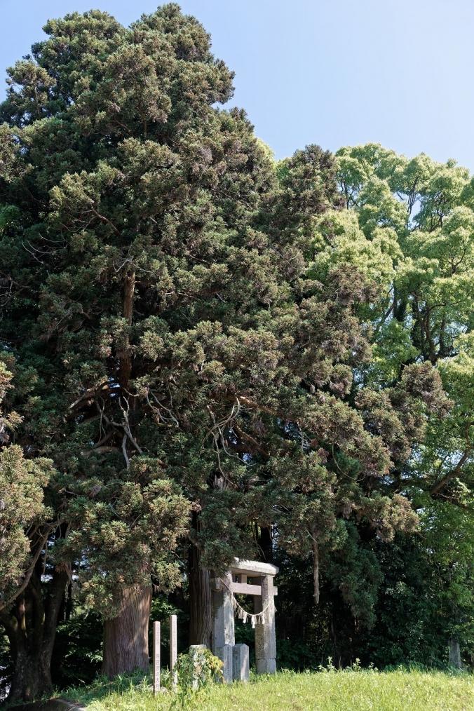 鳥居原の大杉