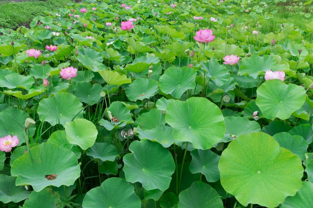 新福寺前の蓮畑