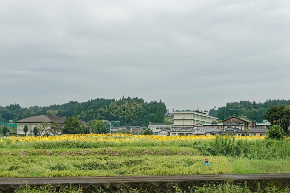 三重町秋葉のヒマワリ畑