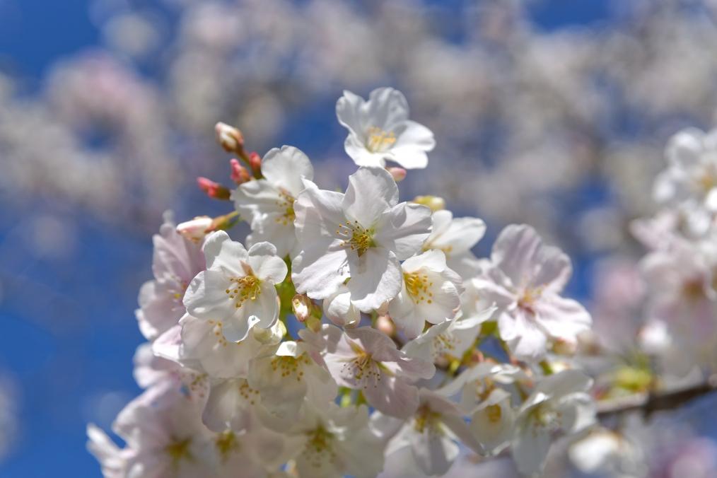 三重川沿いの桜