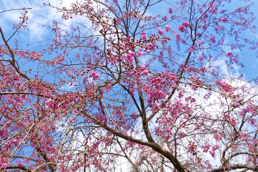 県民の森「桜園」