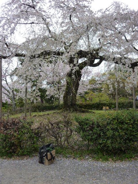 円山の枝垂
