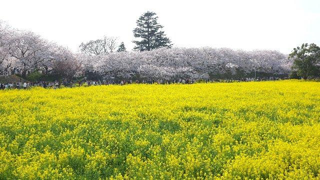 埼玉県幸手市権現堂堤2011-04-10