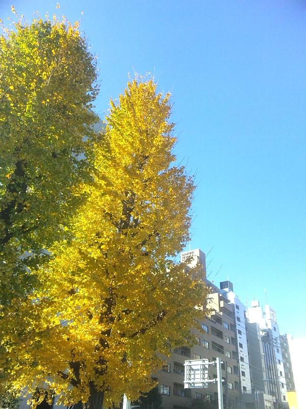 黄金色のいちょう