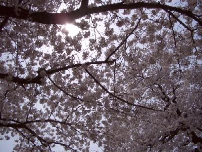 桜2008.jpg