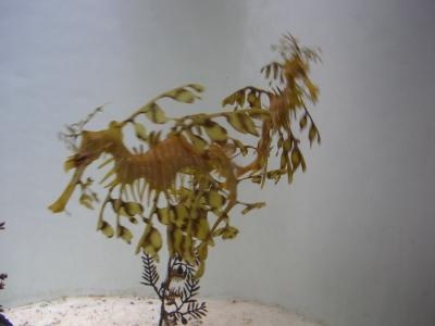 leaf_fish