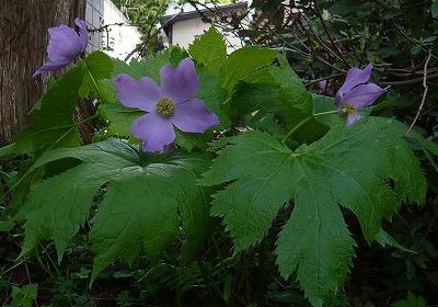 2011年シラネアオイ開花