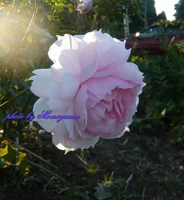ウェッジウォッドのバラ