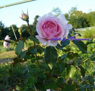 ウェッジウォッドのバラ2013秋
