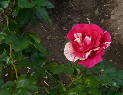 11月のバラ キャンディランド