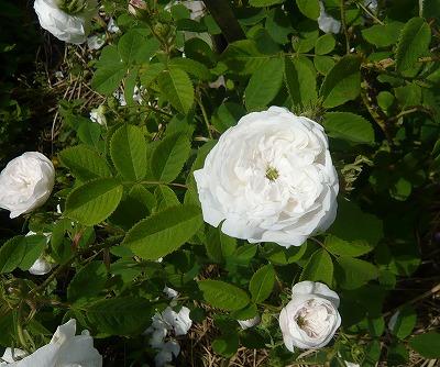 薔薇 マダムアルディ