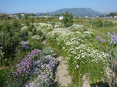 ガーデン カモミール