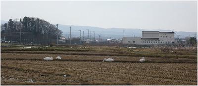 田んぼの中の白鳥