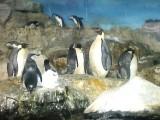 ペンギンのムレ