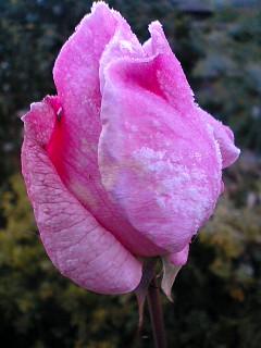 霜が降りたバラのつぼみ