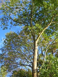 そびえる木