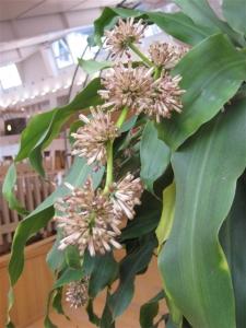 幸福の木(ドラセナ