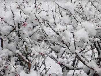 2012紅梅+雪