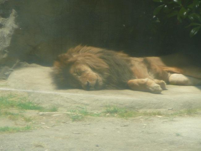 お昼寝中の百獣の王。