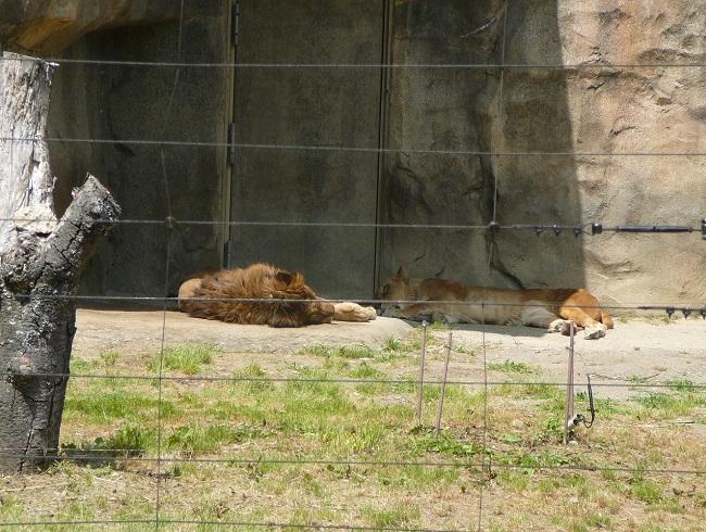 起きる気配のないライオン。