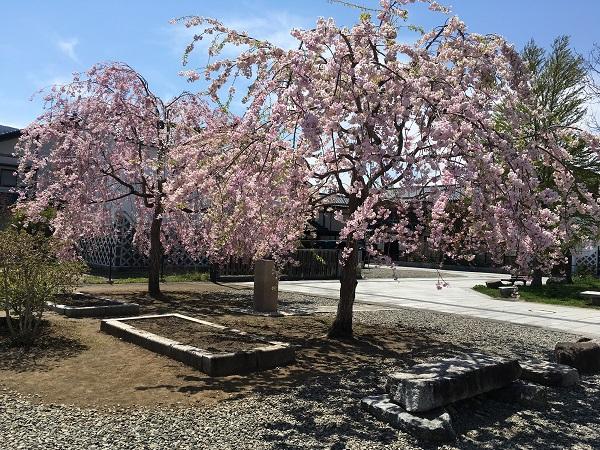 遠野の桜。