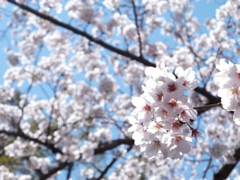 2012/04/07 三島の桜。