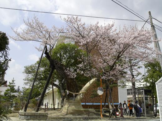 梶曲輪の桜